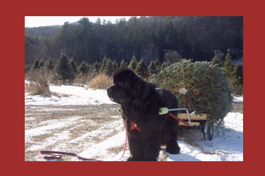 Newfie customer pulling his choose & cut fresh Christmas tree